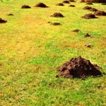 Image of Mole hills on a lawn